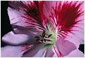 Flower photograph from the Sensuality series by Ulrik Gliese of Studio Gliese